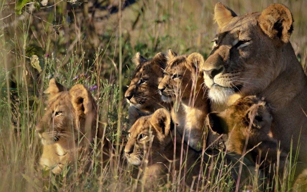 zambia leeuwen